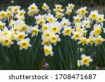 White Narcissus With A Yellow...
