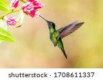 Blue Hummingbird Violet...