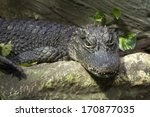 Small photo of Close up of a lying Chinese alligator (Alligator sinensis)