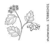 Vector Drawing Hawthorn Branch...