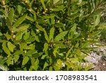 Spring Foliage Of An Aromatic...