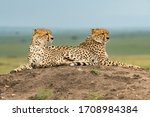 Cheetah Brothers Laying On A...