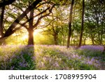 Small photo of Amazing sunrise through the trees onto a carpet of wild bluebells. Seasonal spring landscape in Norfolk England