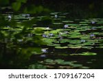 Lily Pads With Purple Flowers
