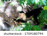 White Throated Capuchin Monkey...