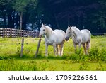 Two White Horses In Green...