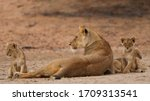 Young Lion Cubs Resting From...