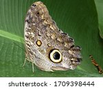 Owl Eye Butterfly On A Leaf