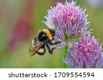 Bumblebee On A Flower In The...