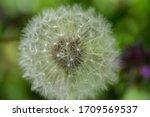 Beautiful White Fluffy Ball Of...