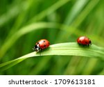 Two seven spotted ladybugs on a ...