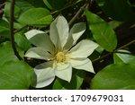 Flowering Clematis 'moonlight'  ...