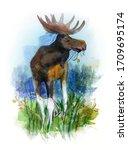 Adult European Moose   Moose ...