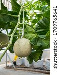 Small photo of Fresh melons or green melons or cantaloupe melons plants growing in greenhouse supported by string melon nets.