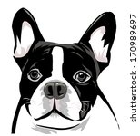 Dog Face  Boston Terrier