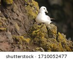 Small photo of The northern fulmar, fulmar, or Arctic fulmar is a highly abundant sea bird found primarily in subarctic regions of the North Atlantic and North Pacific oceans. There has been one confirmed sighting