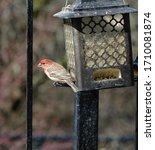 Red Headed House Finch Close U...