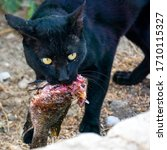 This Is A Black Panther Eating...