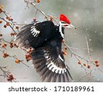 The Pileated Woodpecker Is A...