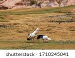 Andean Goose  Neochen...