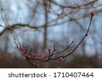 Small Pink Leaf Buds On The...
