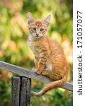 Stock photo little ginger kitten sitting on a wooden slat 171057077