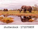 wild african elephant herd...   Shutterstock . vector #171070859