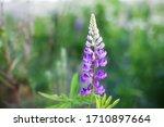 Blooming Macro Lupine Flower....