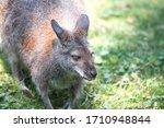 Kangaroo  In German K Nguru ...