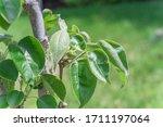Young Asian Pear Fruit Growing...