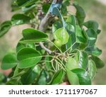 Small Asian Pear Fruit On Tree...