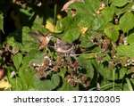 Young Rufous Hummingbird And...
