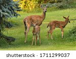Doe And Two Fawns In A Yard