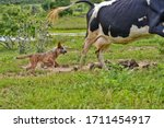 The Australian Cattle Dog  Or...