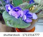 "Flowers Violets ""shirl S Purple ..."