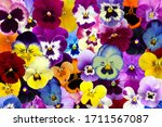 Pretty Colorful Pansy Flower...