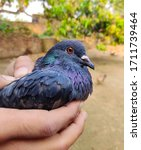Pet Pigeon Is On Hand And ...