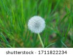 White Dandelion With Seeds...