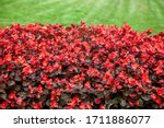Red Begonia Flowers  The Use O...