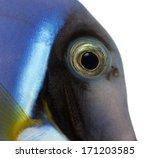 close up of a powder blue tang...   Shutterstock . vector #171203585