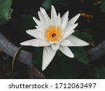 White Lotus Flower That Looks...