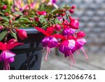 Bright Pink Fuchsia Flowers...