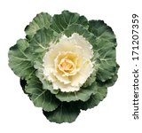 Ornamental Cabbage Isolated On...