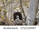 A Close View Of A Bald Eagle...