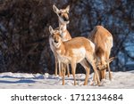 Group Of Pronghorn Antelope  In ...
