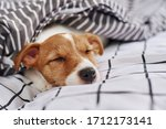 Sleeping Jack Russell Terrier...