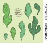 Collection of ulva: sea salad seaweed, ulva leaves. Green algae. Edible seaweed. Vector hand drawn illustration
