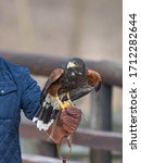 Small photo of Harris's hawk formerly known as the bay-winged hawk or dusky hawk laid on a falconer's glove