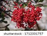 Bright Red Berries Of The Toyon ...