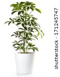 potted plant   aralia    Shutterstock . vector #171245747